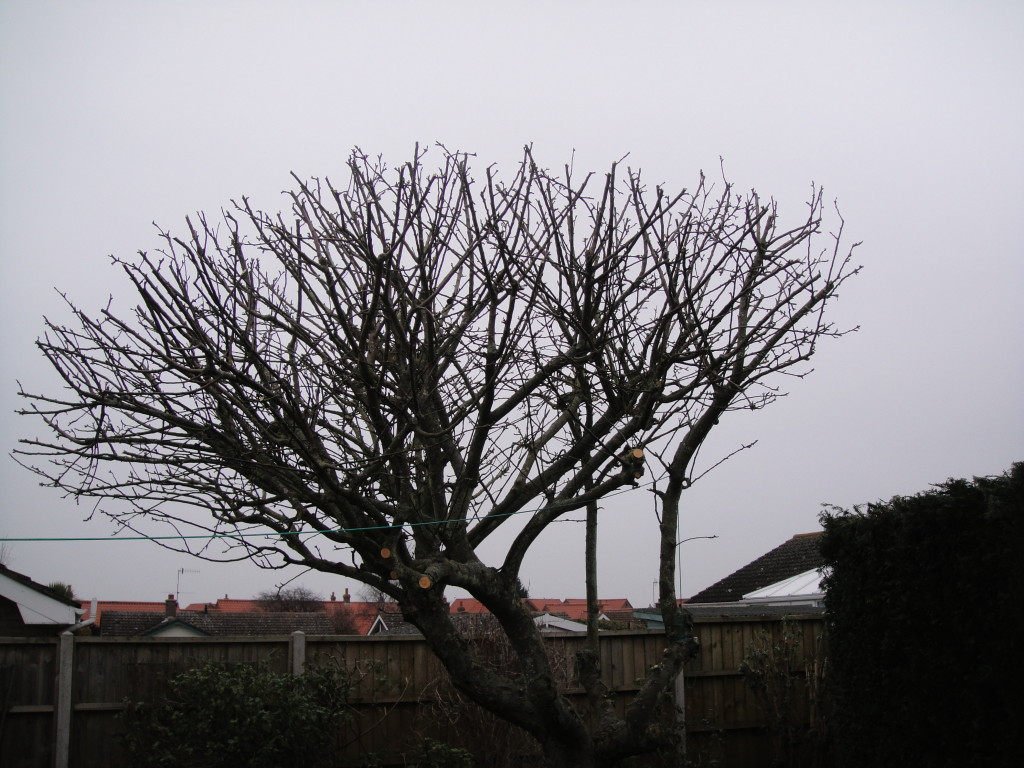 AFTER - Mature Apple Tree with good shape after a 25% - 30% crown reduction - Feb '15