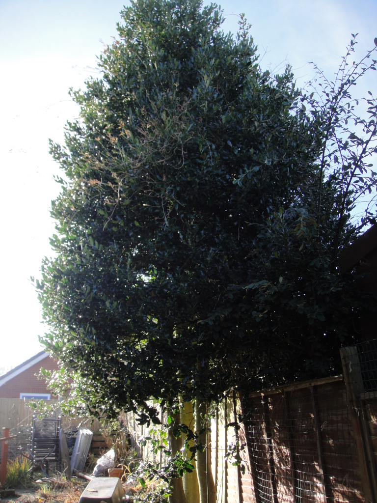 1.BEFORE - Triple Stemmed Holly Tree Ready To Be Dismantled - Feb '15