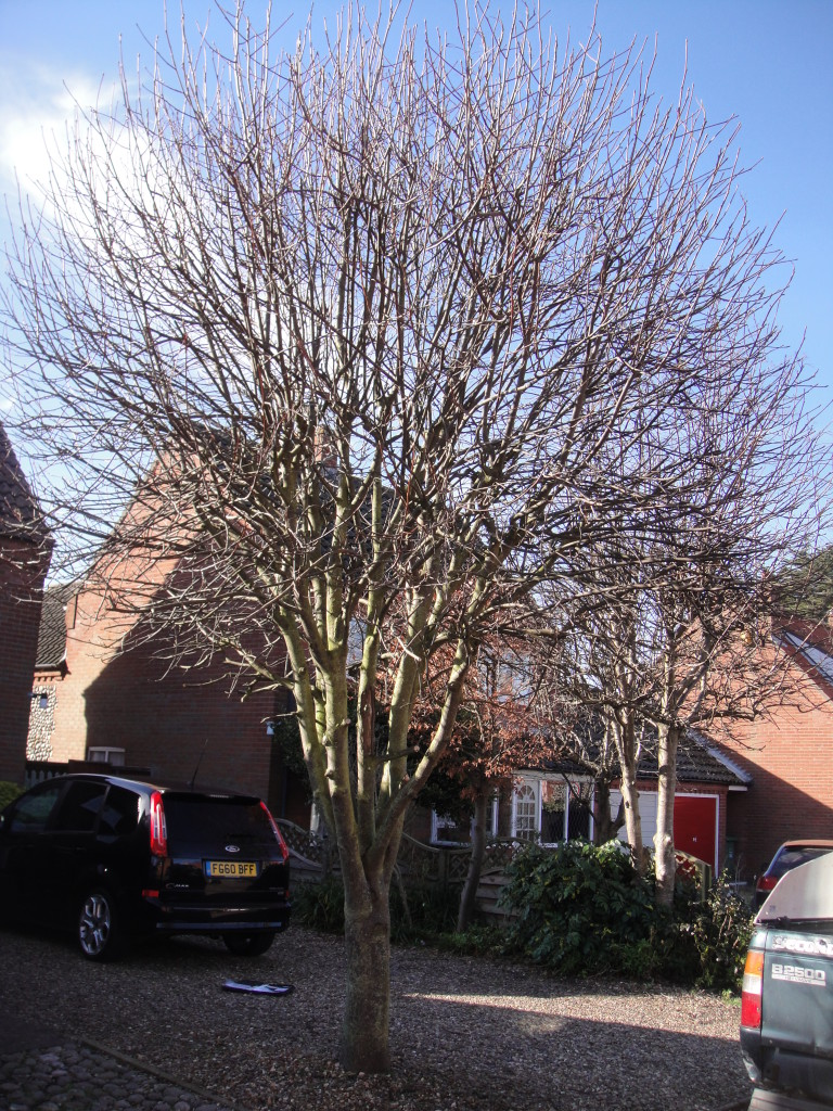 BEFORE - Young Tree in need of a crown reduction and slight lifting - Mar '15