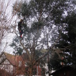 Removing some branches on a Eucalyptus Tree