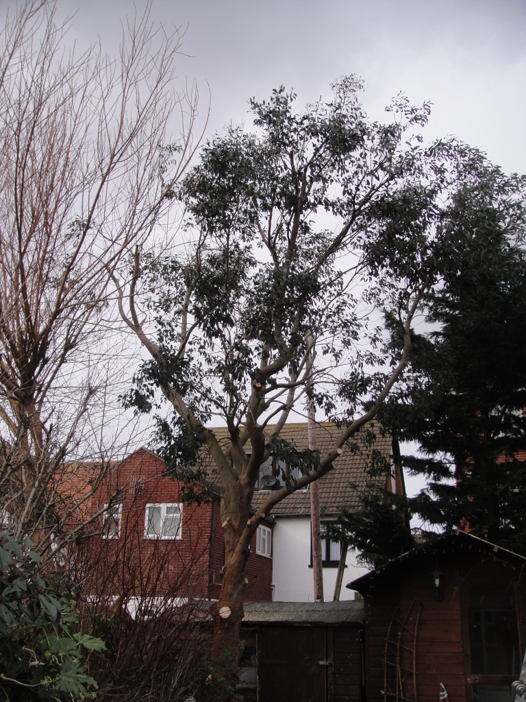 AFTER - Eucalyptus Tree still with good shape after crown reduction & lift - Feb '15