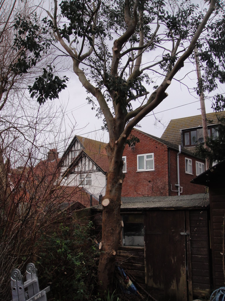 AFTER - Lower branches removed correctly to lift the crown - Feb '15