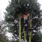 Jamie removing branches from a Holly Tree