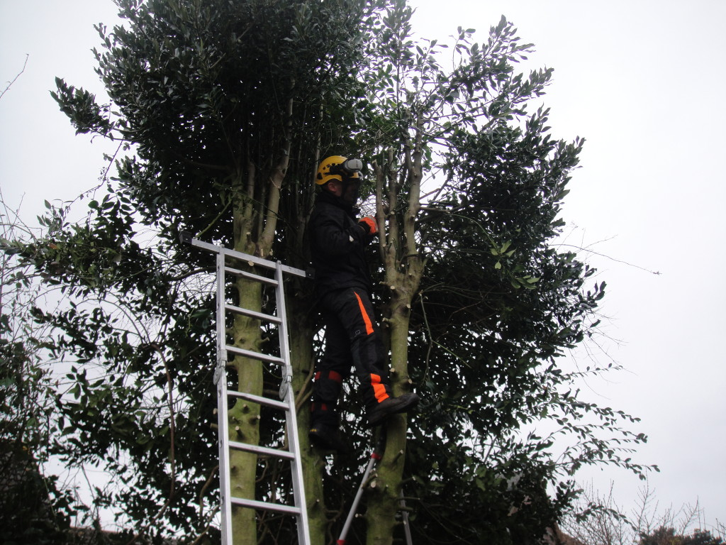 Removing some branches from a Holly Tree