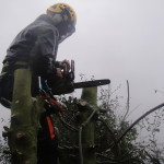 Dismantling the Holly Tree stems with the tree saw.
