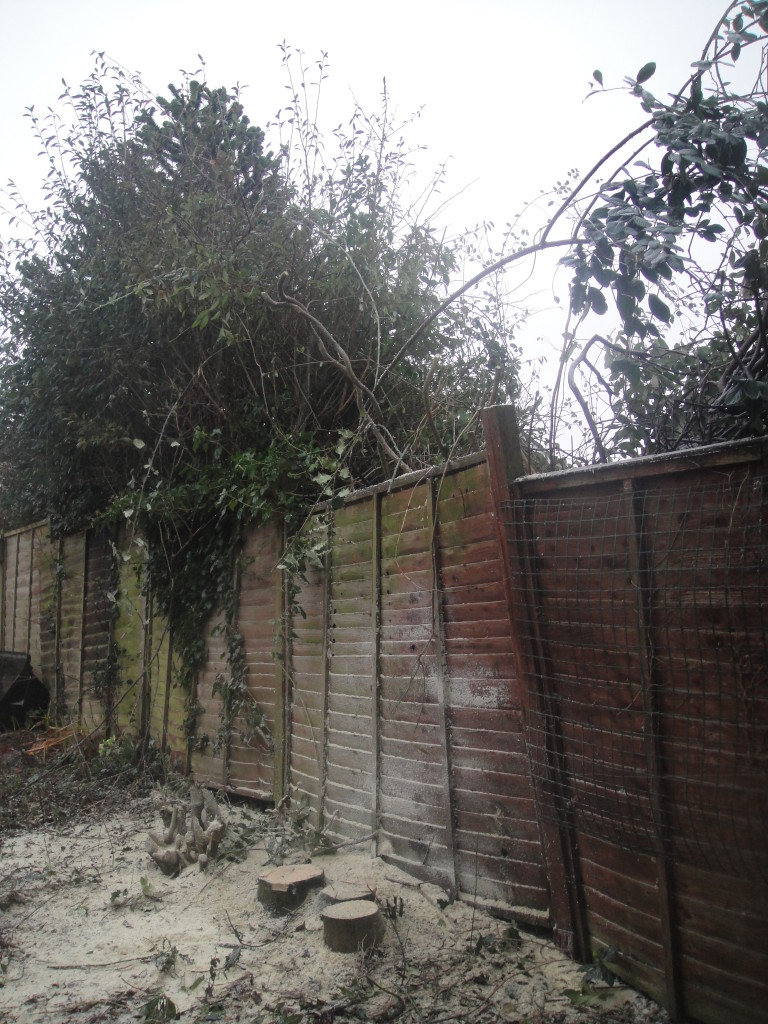 4. AFTER - Triple Stemmed Holly Tree Dismantled To The Ground - Feb '15