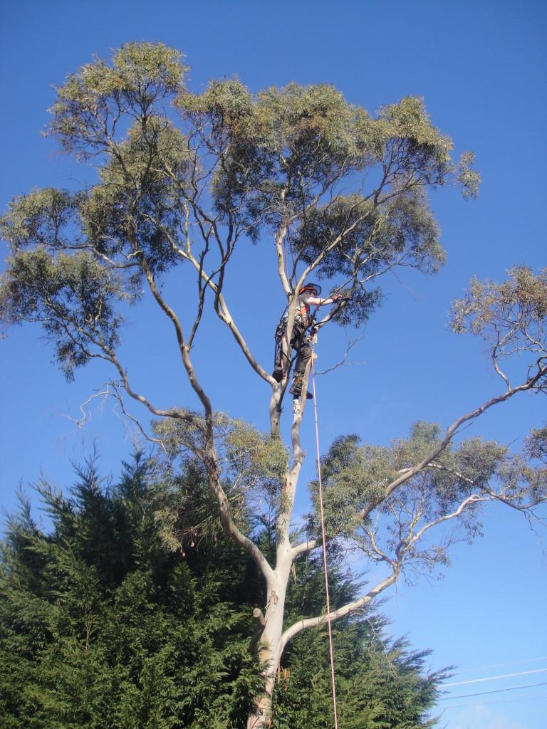 Jamie starting work on a large Eucalyptus Tree