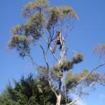 Jamie working on a Eucalyptus Tree