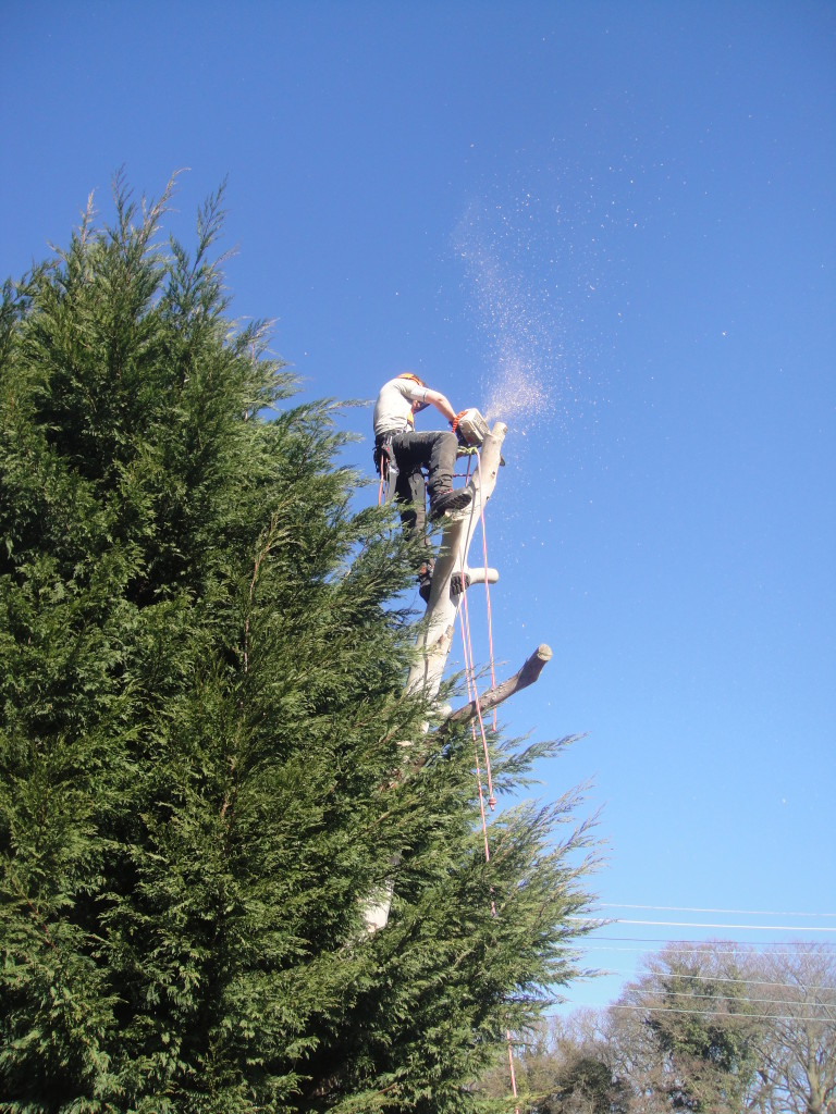 Jamie dismantling large Eucalyptus Tree