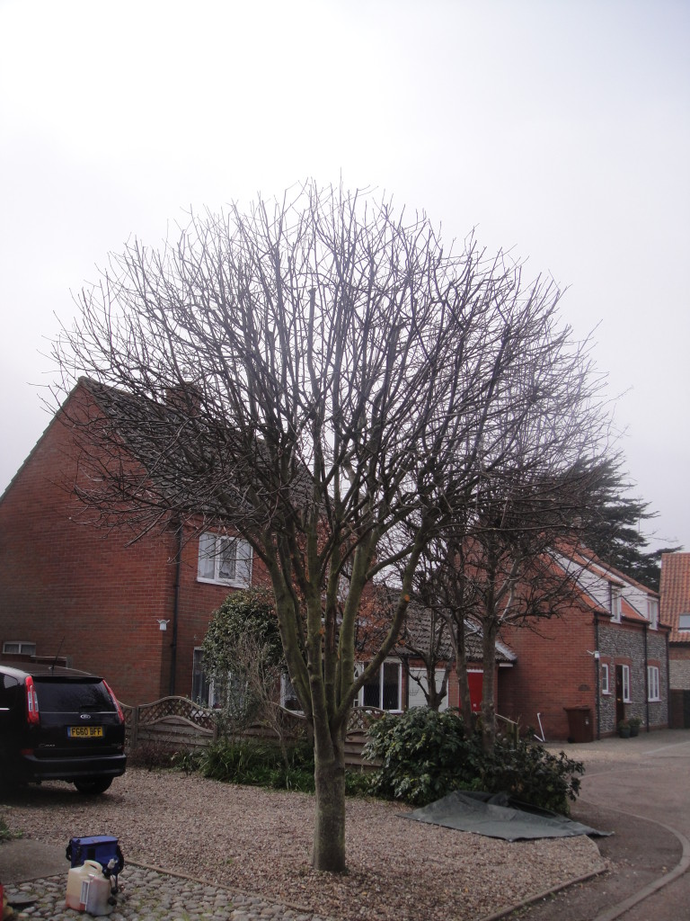AFTER - 25% - 30% reduction & lift completed leaving young tree with good shape - Mar '15