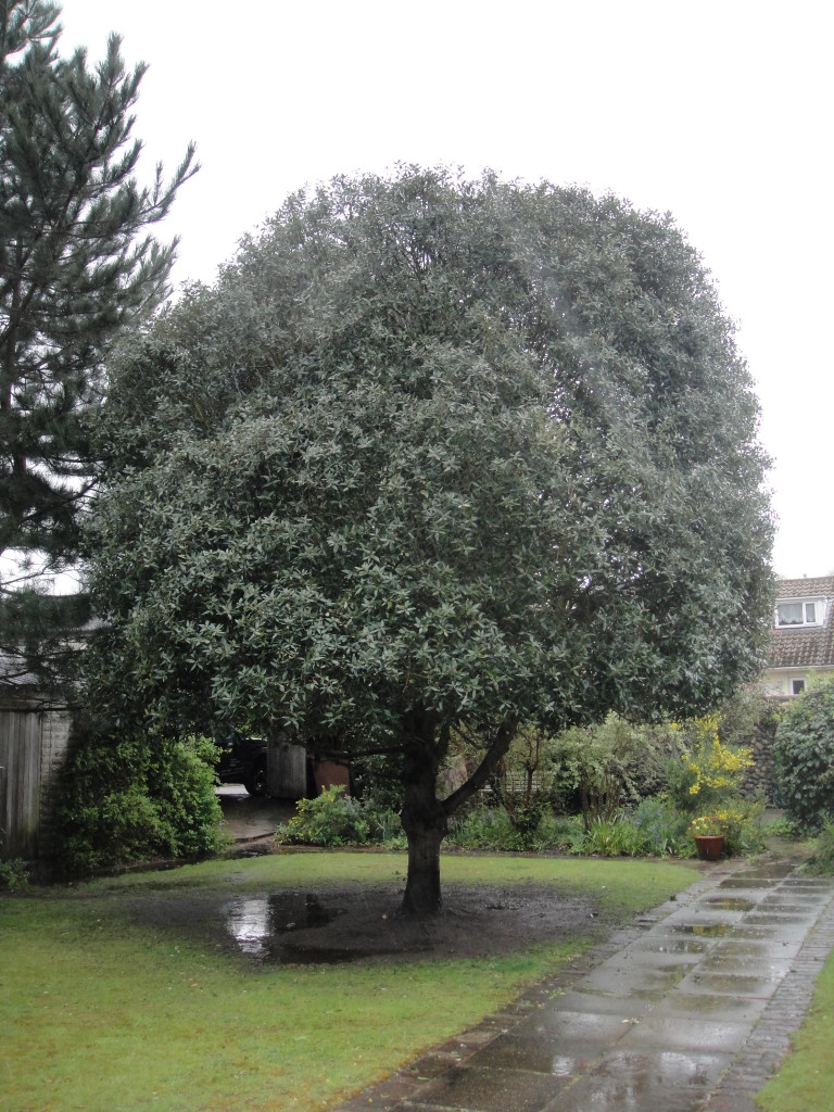 AFTER - Holm Oak With Good Shape After Crown Lift & Small Reduction - May '15