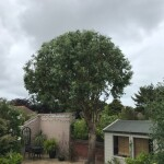 AFTER - Eucalyptus Crown Looking Neat & Well Shaped - June '20