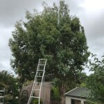 BEFORE - Medium Sized Eucalyptus Tree Ready For Its Annual Reduction - June '20