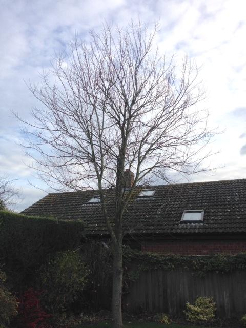 BEFORE - Young Sycamore Looking A Bit Straggly & Getting Tall - Nov '18