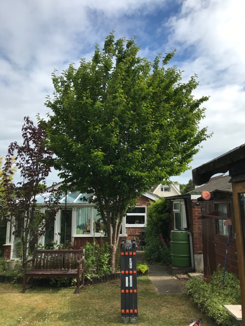 BEFORE - Young Cherry Tree In Need Of Its First Crown Reduction - May '20