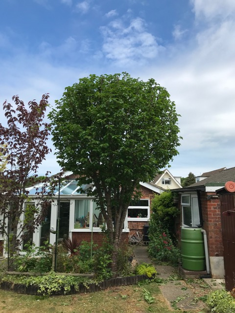 AFTER - Cherry Is Left A Good Size & With A Great Shape  - May '20
