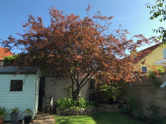 BEFORE - Cherry Tree With Large Straggly Crown Spreading Over Shed & Neighbour's - May '20