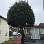 1. BEFORE - Bell Shaped Bay Tree Now Considered To Big For Patio Area - Oct '20