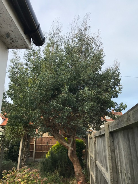 BEFORE - Small Eucalyptus Tree After 2 Seasons Of Growth - Nov '20