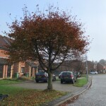 BEFORE - Young Beech Tree Looking Straggly After 2 Seasons Growth - Nov '20