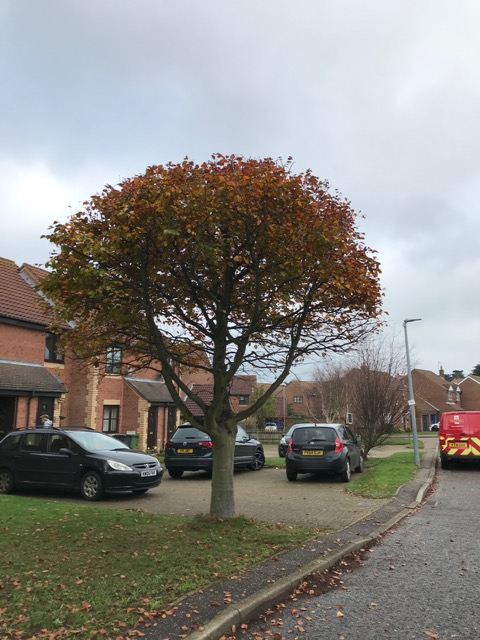 AFTER - Young Beech With Neat ,Tidy & Shapely Crown - Nov '20