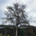 1. BEFORE - A Medium Sized Birch Not In Great Condition To Be Removed - Nov '20
