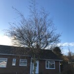BEFORE - Young Birch With Very Straggly Large Crown Ready For Reduction - Jan '21