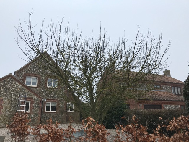 BEFORE - A Very Straggly & Wide Crab Apple Tree To Be Reduced - March '21