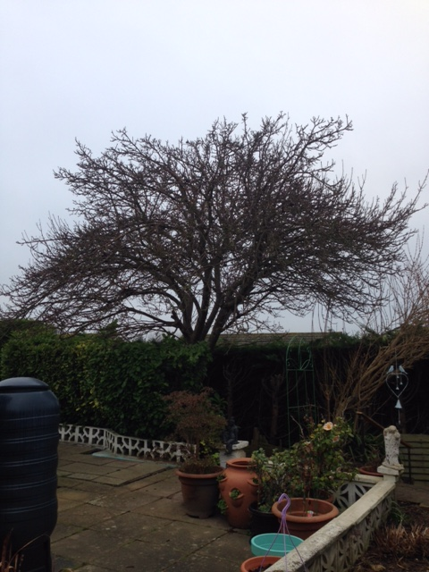 BEFORE - Large Apple Tree Looking Very Straggly & In Need Of A Prune - Jan '18
