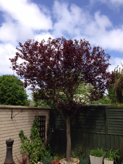 AFTER - Small Victoria Plum  Now With Neater Smaller Crown - May '18