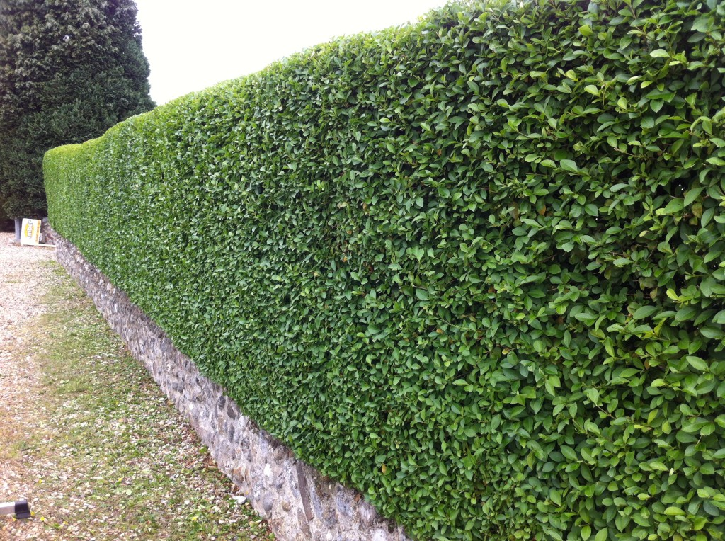 Looking Down the finished Privet Hedge