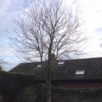Young Sycamore Before Prune