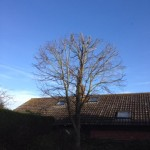 Young Sycamore After Prune