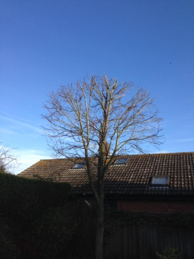 AFTER - Young Sycamore With Crown Fully Reduced & Still With Nice Shape - Nov '18