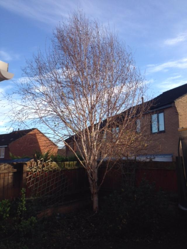 BEFORE - Young Birch Needing A Crown Lift To Get Rid Of Lower Branches - Dec '18
