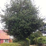 Holly Tree Before Reduction