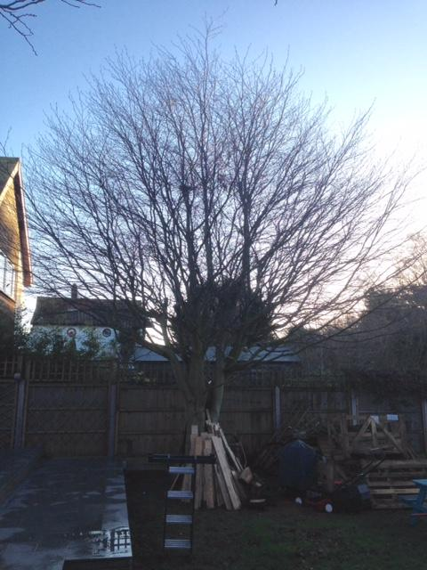 BEFORE - Young Beech Needing Lower Branches Removed & Height Reduced - Dec '18