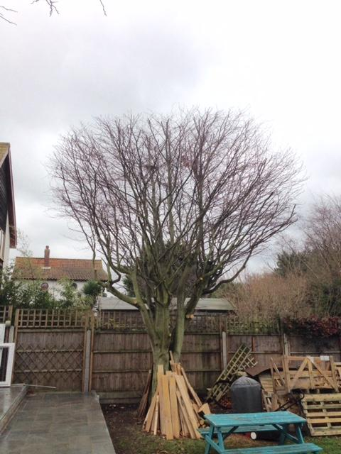 AFTER - Beech Tree Looking Great With Crown Lifted & Reduced - Dec '18
