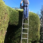 Trimming Large Leylandii Hedge {4}