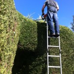 Trimming Large Leylandii Hedge {3}