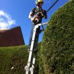 Working On Large Leylandii Hedge