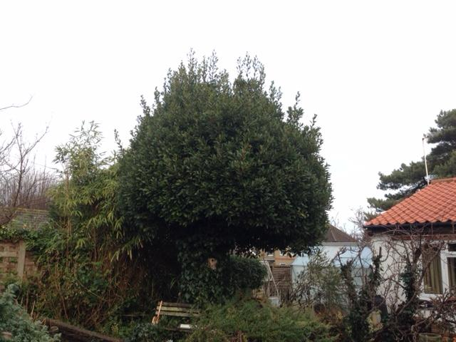 BEFORE - Large Bay Tree Looking Messy After A Couple Of Seasons Growth - Jan '19