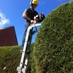 Trimming Large Leylandii Hedge {2}