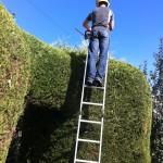 Trimming Large Leylandii Hedge