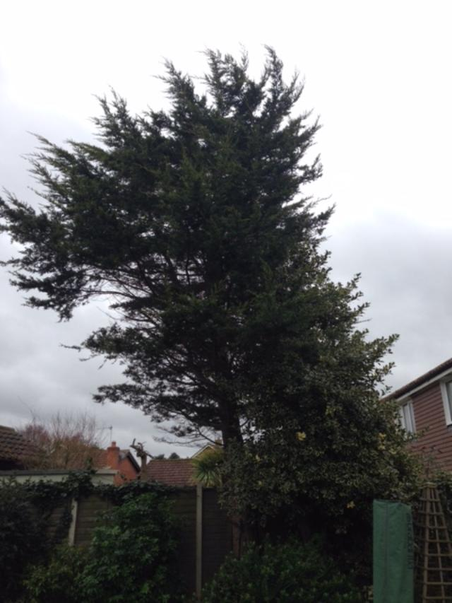 BEFORE - Leylandii Tree & Small Holly Grown Together & Too Big For Small Garden - April '19