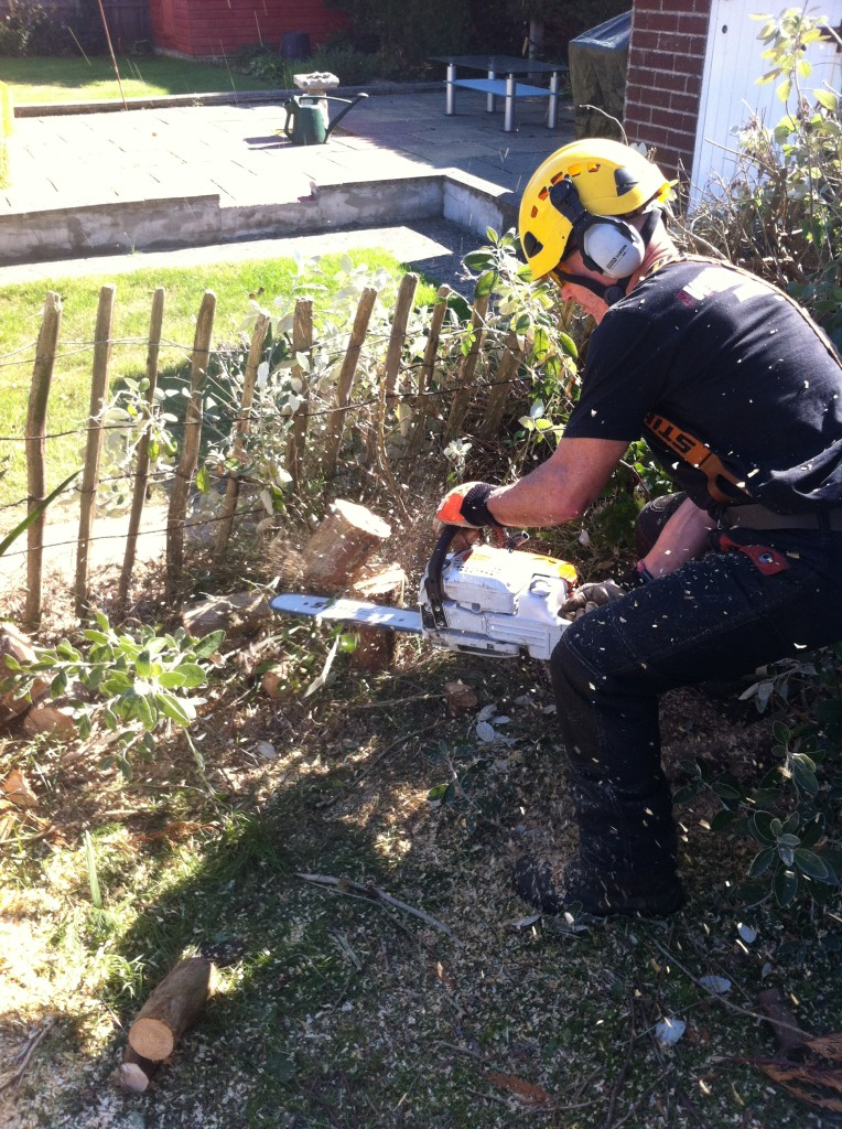 Cutting Stumps On Leylandii Hedge