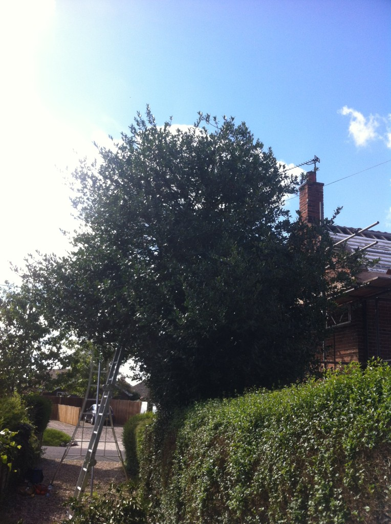 Holly Tree Being Reduced