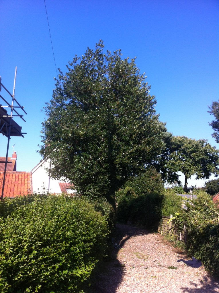 AFTER - Holly Tree Reduced By 10-15% - Sept'13
