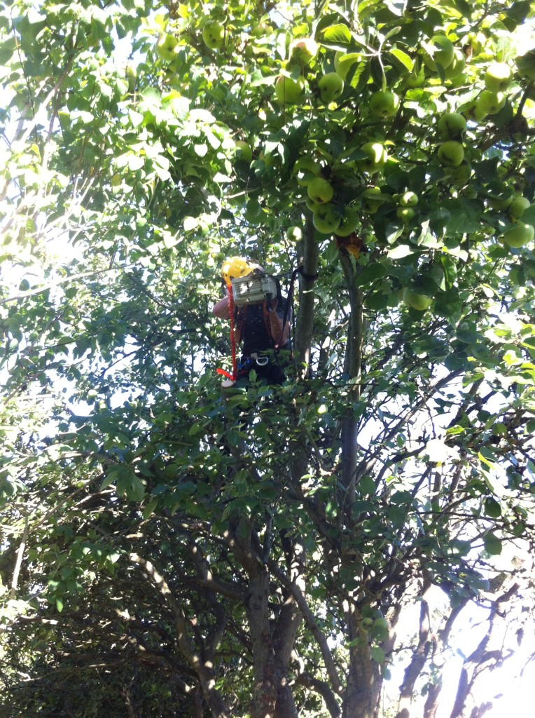 Woking In A Large Apple Tree