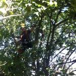 Working In An Apple Tree